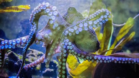 Inky The Octopus's Great Escape : NPR