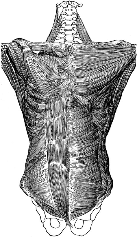 Deep Muscles of the Trunk of the Body | ClipArt ETC