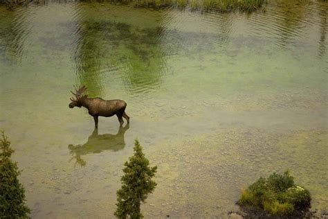 Free picture: aerial, photo, moose, river