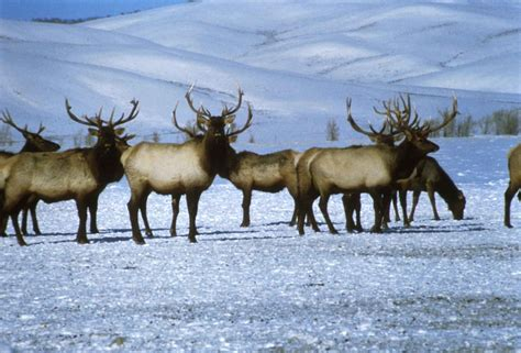 Free picture: bull, elks, snow