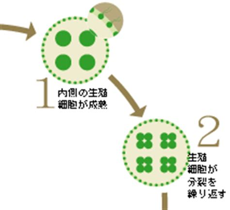 Research ─ 研究を通して ─:ボルボックスで見る多細胞生物の